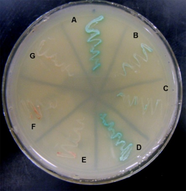 Yeast two hybrid screen: Blue streaks show interactions occurring